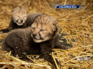 Two cheetah cubs born by IVF for first time