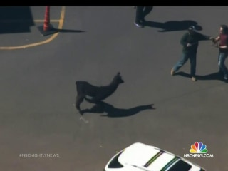 Llamas Lead Arizona Police on Chase Through Phoenix Suburbs