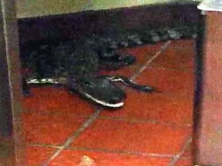 Assault With A Deadly Alligator?