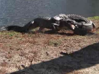 Alligators Battle Caught on Camera
