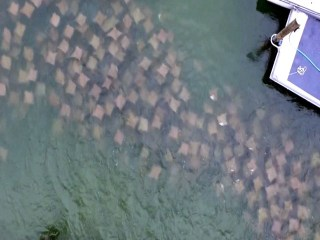 Drone Reveals Florida Ray Invasion