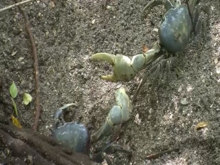 Giant Crabs Take Over Central Florida