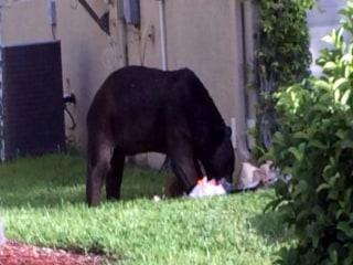 Huge Bear Scares Florida Neighbors