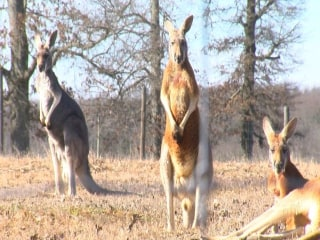 Kangaroos Forced To Move From Arkansas Farm