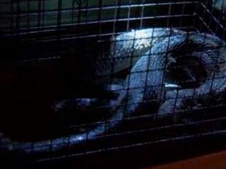 King Cobra Found Under Clothes Dryer