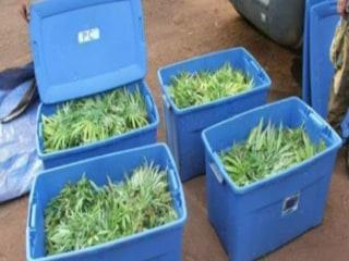 Marijuana Harvesting Season Keeps Cops Busy