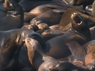 Sea Lions Take Over City Dock