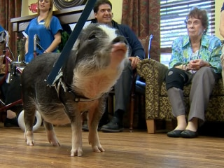 Therapy Pigs Help Alzheimer's Patients
