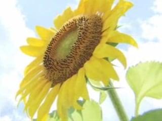 Thousands Flock to Sunflower Festival