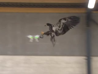 Dutch Police Train Eagle to Attack Drones