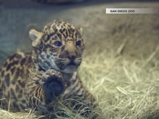 Jaguar Cub Says, 'Hello World' at San Diego Zoo