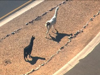 Llamas Go on the Run