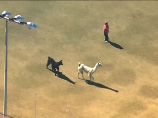 Elusive Llamas Run Their Way to Social Media Stardom
