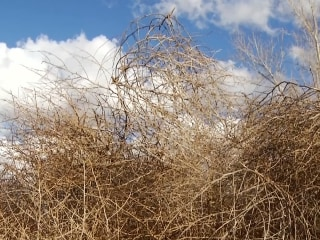 Tumbleweed Round-up in New Mexico
