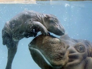 Watch Baby Hippo Learn How to Swim