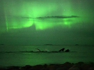 Watch Whales Swim Under the Northern Lights