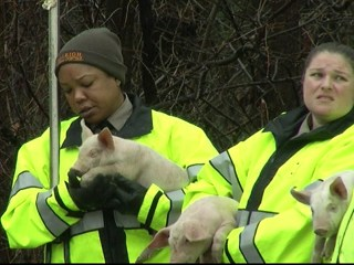 Truck Carrying 2,000 Piglets Overturns on Highway