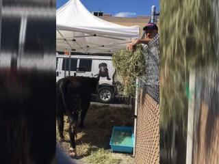 Jon Stewart Rescues Bull