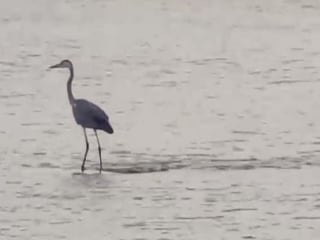 Hippo-Surfing Heron Catches Waves