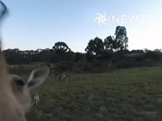 Watch Kangaroo Punch Drone Out of Sky