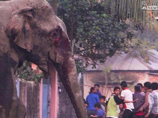 Lost Elephant Runs Wild in Indian City