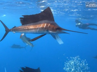 The Visually-Stunning Spectacle of Mexico's Sailfish Migration