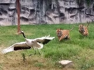 Crane Trapped in Tiger Den Decides Enough Is Enough
