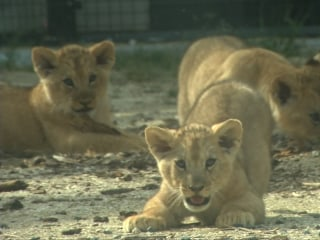 Lion Cubs Make First Public Appearance