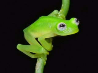 Scientist Discovers News Species of Glass Frog in Costa Rica