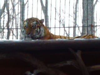 What Happened When Amur the Siberian Tiger Met His Match