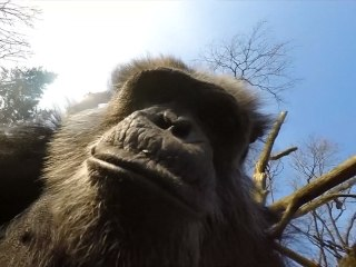 Caught On Camera: Chimp Takes Out Drone