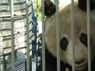 Giant Panda Returned to Wild After Recovering From Sickness