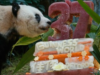 Giant Panda Jia Jia Celebrates her 37th Birthday