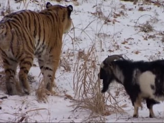 Feisty Goat Still in Charge in Tiger's Cage