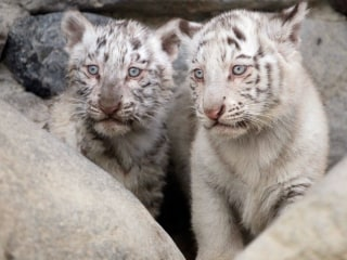 White Tiger Cubs Face Public For First Time at Sneak Peek