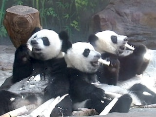Giant Panda Triplets Celebrate First Birthday