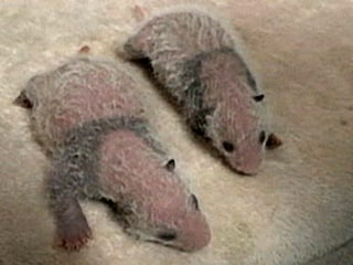 Latest Pair of Giant Panda Twins Doing Well in China