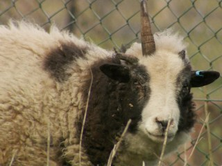 Unicorn Sheep Becomes Farmyard Star