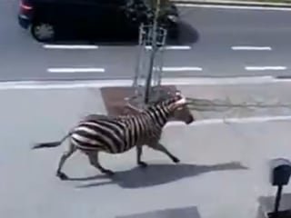 Zebras Run Wild Through Streets of Brussels