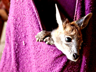 Public Asked to Make Pouches for Orphaned Baby Kangaroos