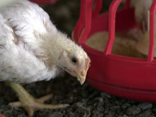 Cage-Free Chicken Before the Egg: Panera Bread to End Hen Confinement