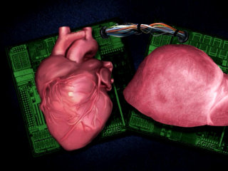 Not Quite Clones: Organs Grow on Microchips