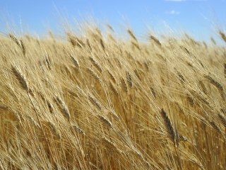 Stone-Age Hunter-Gatherers Imported Wheat From Mainland 8,000 Years Ago