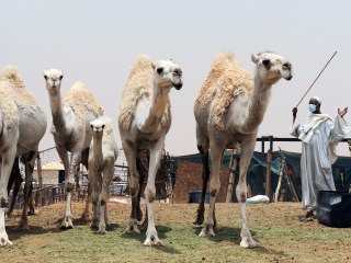 New Report Nails Camels As A Direct Source of MERS
