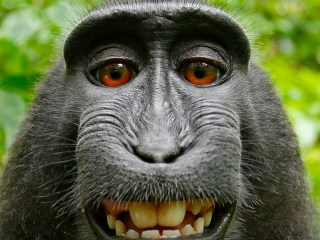 Federal appeals court rejects monkey selfie suit