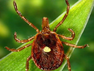 Bad Bite: Tick Can Trigger Meat Allergy, Doctors Say