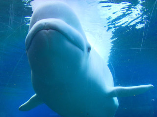 Playful Beluga Whale Makes a Splash on YouTube