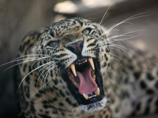 India Widow Kills Leopard With Farm Scythe After 30 Minute Fight