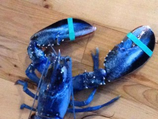 Rare, Blue Lobster Given New Home at Aquarium