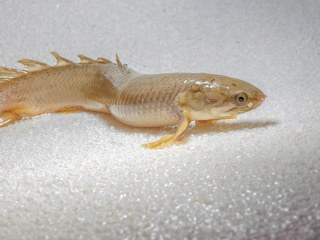 To Study Evolution, Scientists Raise Fish That 'Walk' on Land